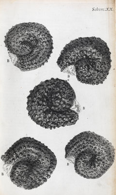 Microscopic views of purslane seeds by Robert Hooke - print