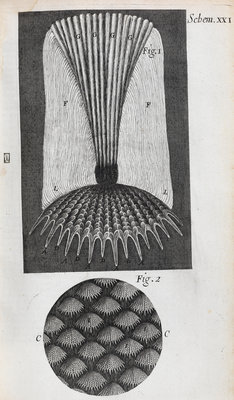Microscopic views of fish scales by Robert Hooke - print