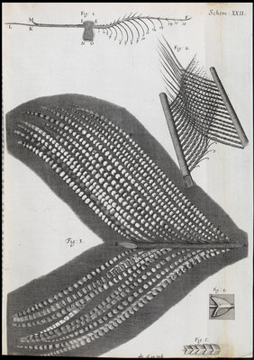 Microscopic views of feathers by Robert Hooke - print
