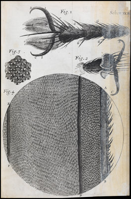 Microscopic views of a fly by Robert Hooke - print