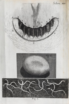 Microscopic views of a snail's teeth, silk-worm's egg and vinegar eels by Robert Hooke - print