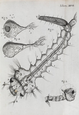 Microscopic views of a water-dwelling insect by Robert Hooke - print
