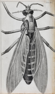 Microscopic views of a female gnat by Robert Hooke - print