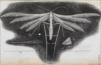 Microscopic view of a white feather-winged moth by Robert Hooke - print