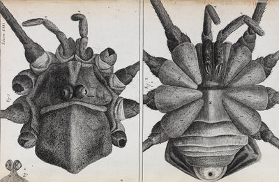 Microscopic views of a spider by Robert Hooke - print