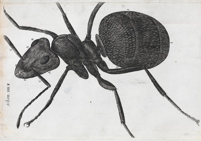 Microscopic view of an ant by Robert Hooke - print