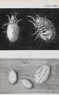 Microscopic views of mites by Robert Hooke - print