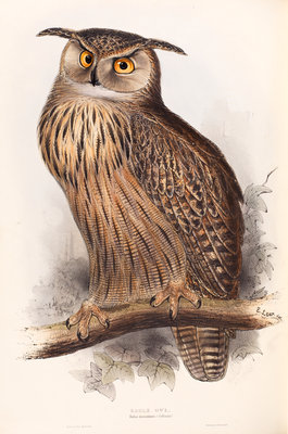 Eagle Owl by Edward Lear - print