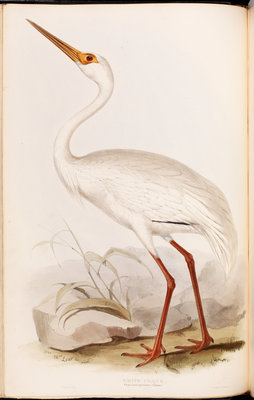 White Crane by Edward Lear - print