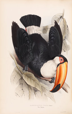 Toco Toucan by Edward Lear - print