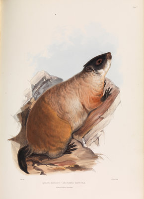 Quebec Marmot by I W Moore - print
