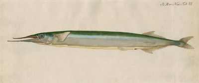 'L'Orphie' [Garfish by Anonymous - print