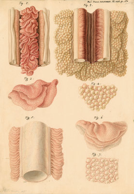 Ovaries and testes of the lamprey and conger eel by Franz Andreas Bauer - print