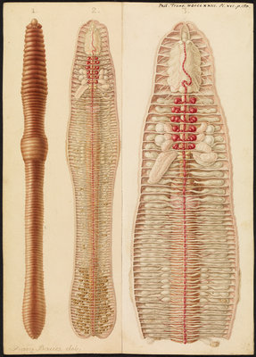 Earthworm by Franz Andreas Bauer - print