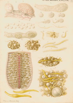Earthworm eggs and their development by Franz Andreas Bauer - print