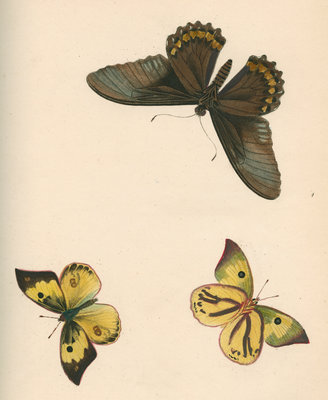 Butterflies of North and South America by Maria Eleonora Hochecker - print