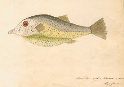 Comoros 'electric fish' by William Paterson - print