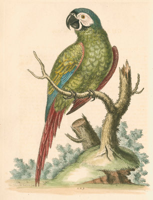 'The Brasilian Green Macaw' by George Edwards - print