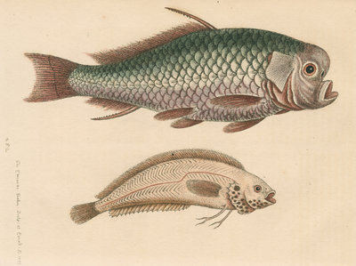 'The Spur-Fish; and the Indian Gattorugina' by George Edwards - print