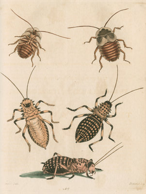 'The Greater Cockroach; and the Whistle Insect' by Cornelius Heinrich Hemerich - print