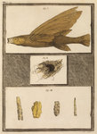 Flying fish with freshwater nests and cases by William Kent - print