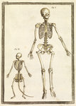 Human and monkey skeletons by Jan van Rymsdyk - print