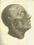 Veins of the human head by T Cole - print