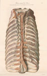 Dissected thorax of a porpoise by William Clift - print