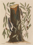 The 'nuthatch', the 'small nuthatch' and the 'highland willow oak' by Mark Catesby - print