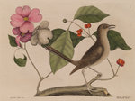 The 'mock-bird' and the dogwood tree by Mark Catesby - print