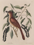 The 'fox coloured thrush' and the 'cluster'd black cherry' by Mark Catesby - print