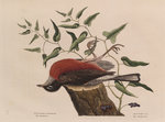 The 'fieldfare of Carolina' and the snake-root of Virginia by Johann Sebastian Müller - print