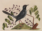 The 'red leg'd thrush' and the 'gum-elimy tree' by Johann Sebastian Müller - print