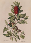 The 'little thrush' and the 'dahoon holly' by Johann Sebastian Müller - print