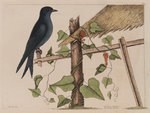The purple martin and the 'Smilax (forte) lenis'