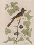 The 'crested fly-catcher' and the 'Smilax bryoniae'