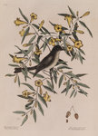 The 'blackcap fly-catcher' and the 'yellow jessamy'
