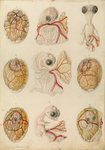 Embryo development in a hen's egg by Franz Andreas Bauer - print