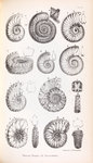Various forms of ammonites by Edward Lear - print