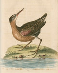 'The American Water-Rail' [Virginia rail] by Anonymous - print