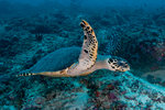 Sea turtle swimming over reef, Ari and Male Atoll, Maldives. Wall Art & Canvas Prints by Anonymous