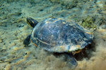 A Red-bellied Cooter turtle on the sandy bottom of Morrison Springs. Wall Art & Canvas Prints by Anonymous